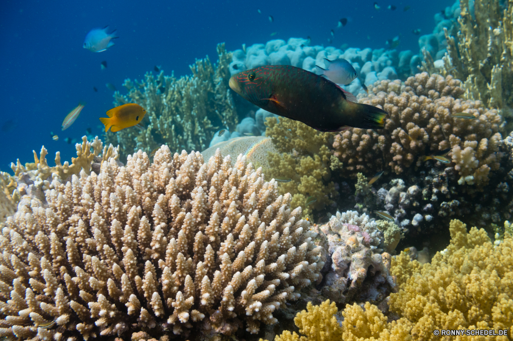 Rotes Meer Coral reef Riff Grat Unterwasser Fisch Koralle Meer natürliche Höhe Ozean Tropischer Tauchen Wasser Marine aquatische Tauchgang Salzwasser Tauchen Tier exotische geologische formation Reisen Kolonie Sonnenlicht tief Urlaub Leben Sonne bunte Sonnenstrahl erkunden Tourismus Exploration Taucher hell Strahlen Strahl unter Unterwasser Schwimmen seelandschaft unter Orte Farbe Entspannung Traum Wildtiere Tiere Scuba diving unter Fische Schule nass Blasen Aquarium Anemone Salz welligkeit 3D klar Abenteuer Sonnenschein Licht weiche Oberfläche Tiefe Klima Sommer Sport Erholung transparente Urlaub Schnorcheln Tierwelt Schwimmen Türkis coral reef reef ridge underwater fish coral sea natural elevation ocean tropical diving water marine aquatic dive saltwater scuba animal exotic geological formation travel colony sunlight deep vacation life sun colorful sunbeam explore tourism exploration diver bright rays ray under undersea swimming seascape below places color relaxation dream wildlife animals scuba diving beneath fishes school wet bubbles aquarium anemone salt ripple 3d clear adventure sunshine light soft surface depth climate summer sport recreation transparent holiday snorkeling fauna swim turquoise