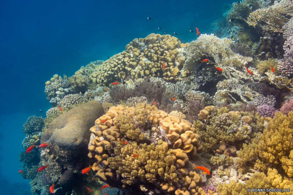 Rotes Meer Coral reef Riff Unterwasser Koralle Meer Fisch Grat Ozean Tropischer Tauchen Marine Wasser aquatische natürliche Höhe Salzwasser Tauchgang exotische Tauchen Reisen Tier Kolonie Sonnenlicht bunte Urlaub Sonne Sonnenstrahl Exploration geologische formation erkunden Tourismus tief Leben Anemonenfisch Kaktus Strahlen unter Strahl Orte seelandschaft hell Traum unter Farbe Unterwasser Entspannung unter Taucher Blasen Oberfläche 3D Scuba diving Salz Aquarium Urlaub Fische Schule Tiefe nass Wildtiere Sommer Anemone Licht Schwimmen klar Ruhe Polyp unter Wasser Pflanze Szenen welligkeit See weiche Sonnenstrahlen ins Rollen gerendert Wirbellose gelassene idyllische Sonnenschein ruhige coelenterate Kopie Fels Raum Abenteuer dunkel Landschaft Tiere friedliche Erholung transparente coral reef reef underwater coral sea fish ridge ocean tropical diving marine water aquatic natural elevation saltwater dive exotic scuba travel animal colony sunlight colorful vacation sun sunbeam exploration geological formation explore tourism deep life anemone fish cactus rays below ray places seascape bright dream beneath color undersea relaxation under diver bubbles surface 3d scuba diving salt aquarium holiday fishes school depth wet wildlife summer anemone light swimming clear calm polyp submerged plant scenes ripple lake soft sunbeams rolling rendered invertebrate serene idyllic sunshine tranquil coelenterate copy rock space adventure dark landscape animals peaceful recreation transparent