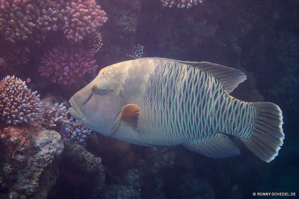 Lahami Bay Schnapper Fisch Unterwasser Speisefische Meer Riff Koralle Ozean Tropischer Wasser Marine Tauchen aquatische Tauchen Tauchgang exotische Aquarium Salzwasser tief Reisen bunte Dreifarben Urlaub spiny-finned fish Wildtiere Schwimmen Schmetterlingsfische Schwimmen Kolonie Taucher Leben erkunden Fische Tourismus Schnorcheln Tank Exploration Blasen Tiere unter Farbe Orte Tierwelt Entspannung hell Abenteuer Traum Unterwasser Schnorchel Tiefe Scuba diving Flossen Aal Hai Tiger shark Strahl Sonnenlicht Anemone klar Salz seelandschaft Anemonenfisch Sport Sonne Wild Kugelfisch Sonnenstrahl Umgebung snapper fish underwater food fish sea reef coral ocean tropical water marine diving aquatic scuba dive exotic aquarium saltwater deep travel colorful rock beauty vacation spiny-finned fish wildlife swim butterfly fish swimming colony diver life explore fishes tourism snorkeling tank exploration bubbles animals under color places fauna relaxation bright adventure dream undersea snorkel depth scuba diving fins eel shark tiger shark ray sunlight anemone clear salt seascape anemone fish sport sun wild puffer sunbeam environment