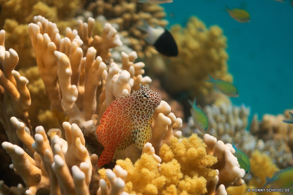 Lahami Bay Riff Unterwasser Koralle Meer Polyp Anemonenfisch Fisch Ozean Tropischer Marine Tauchen coelenterate Wasser Wirbellose aquatische Salzwasser Coral reef Tauchgang exotische Tauchen tief Kolonie bunte Grat Reisen Sonnenlicht Urlaub erkunden Sonne Exploration Leben Tourismus Sonnenstrahl hell natürliche Höhe Tier Wildtiere Anemone Orte Aquarium Strahl Traum Organismus Farbe Unterwasser unter unter Strahlen Blasen Tiefe unter Seeanemone Schnorcheln Salz Schwimmen Entspannung Taucher Fische nass seelandschaft 3D Scuba diving Schule Schnapper Licht geologische formation Sonnenschein Sommer Oberfläche Schnorchel klar schwarz ruhige weiche reef underwater coral sea polyp anemone fish fish ocean tropical marine diving coelenterate water invertebrate aquatic saltwater coral reef dive exotic scuba deep colony colorful ridge travel sunlight vacation explore sun exploration life tourism sunbeam bright natural elevation animal wildlife anemone places aquarium ray dream organism color undersea beneath below rays bubbles depth under sea anemone snorkeling salt swimming relaxation diver fishes wet seascape 3d scuba diving school snapper light geological formation sunshine summer surface snorkel clear black tranquil soft
